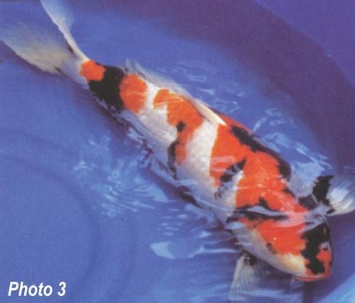 Showa or sanke for Sanke koi fish
